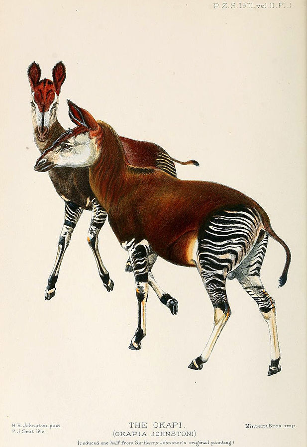 okapi, harry johnston